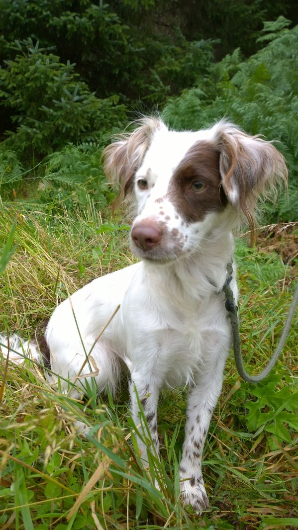 rehomed – Bella, Spaniel cross bitch