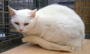 Frostie white cat feral