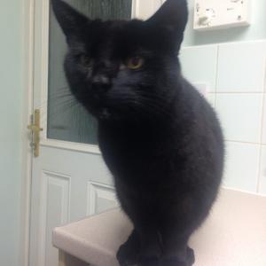 Pica black cat milk