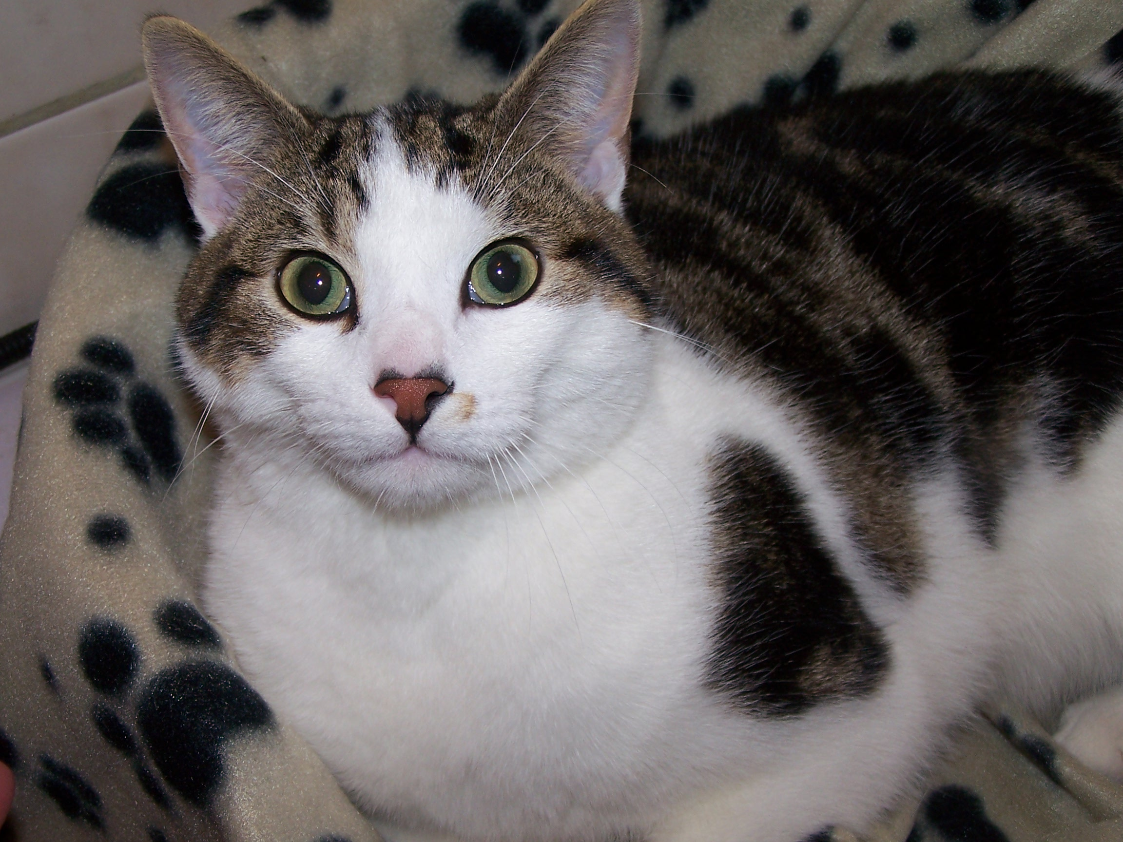NOW REHOMED – Chico – lovely tabby and white pet cat