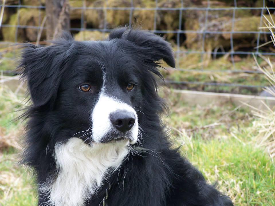 rehomed – Jack, active Collie lad