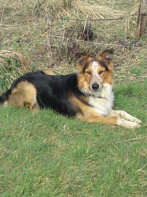 REHOMED Toby, pretty tan and black collie dog