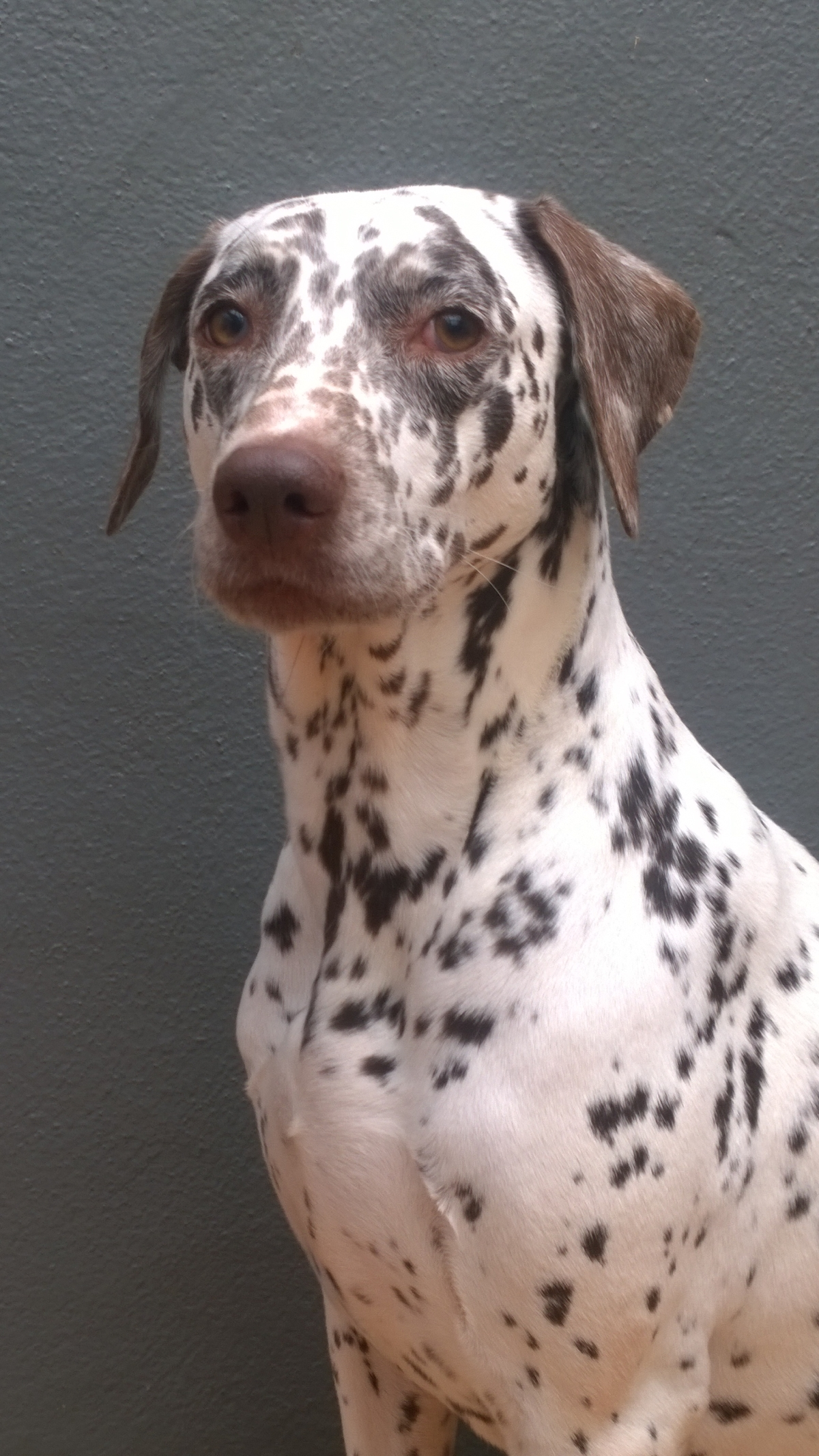 REHOMED _ Dora – 4 year old Dalmation x Pointer bitch