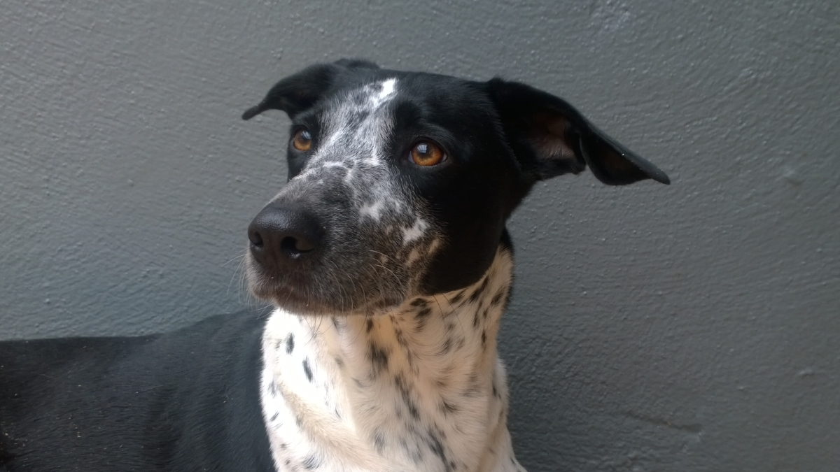 REHOMED – Jeannie 18 mth old – Dalmation x Pointer / Collie cross