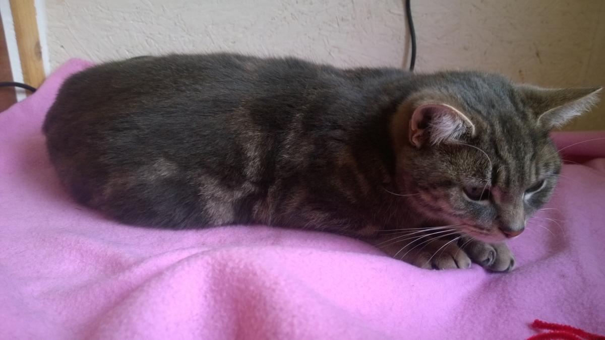 REHOMED: Jess – tabby cat