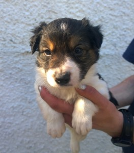 stumpie collie pup 3 dog half B -sm