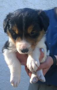 stumpie collie pup 4 dog short b -sm