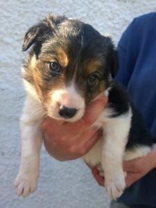 stumpie collie pup 4 dog short -sm