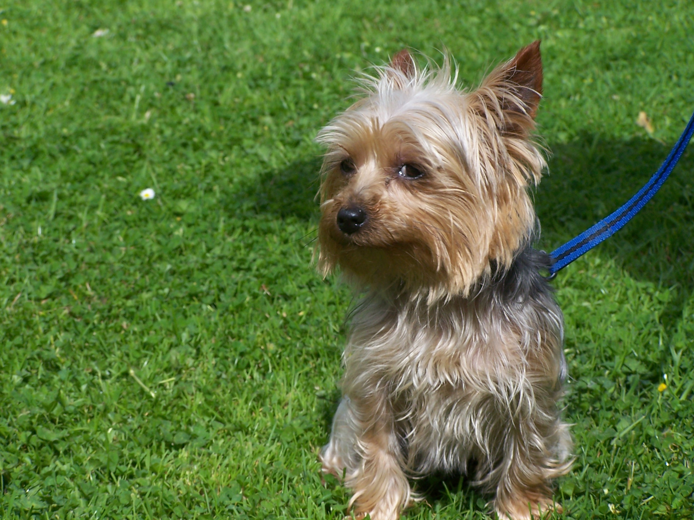 REHOMED-Chika – Yorkshire Terrier, 18 month old bitch