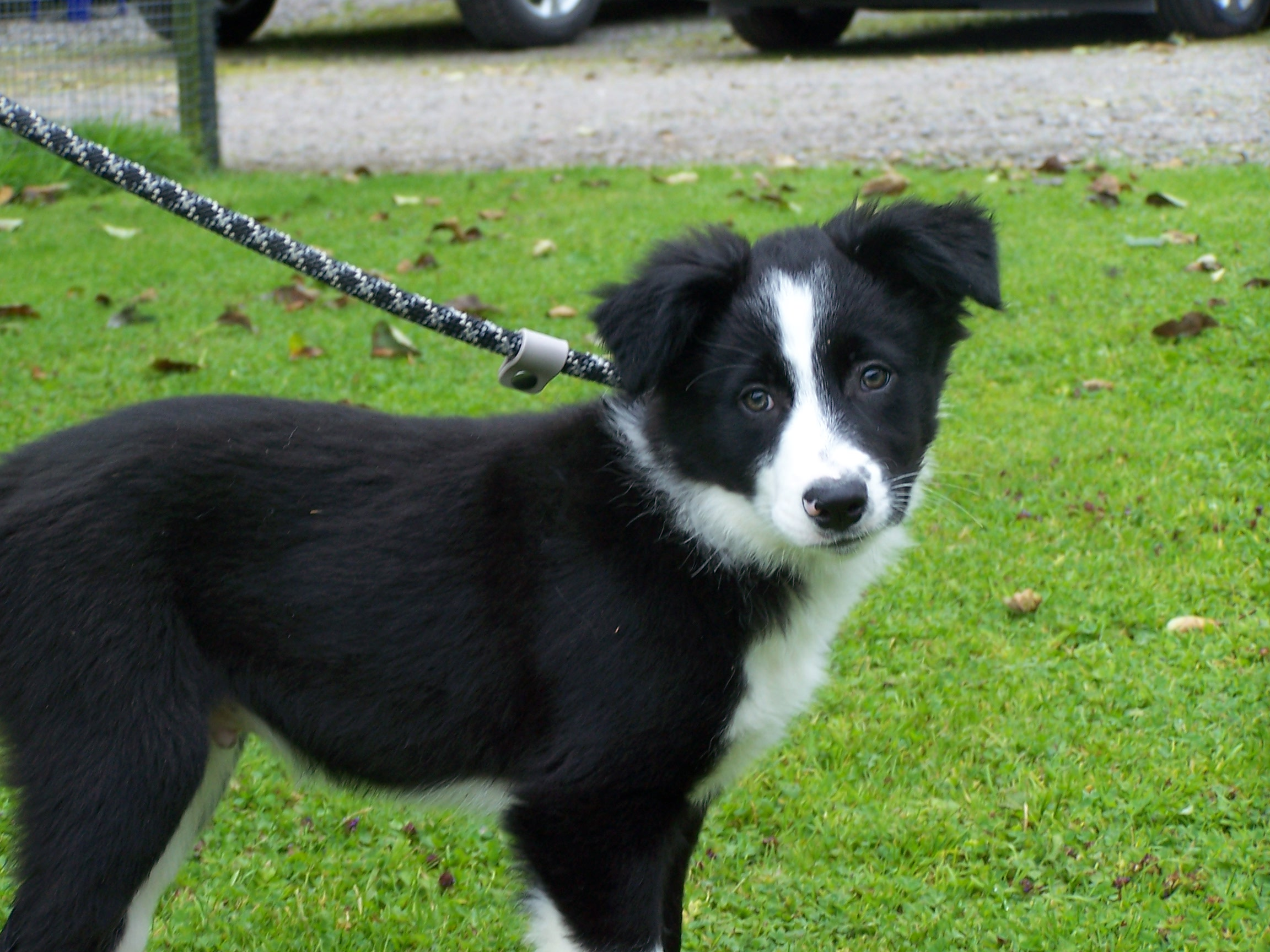 REHOMED: Ted: 12/13 week old Collie pup