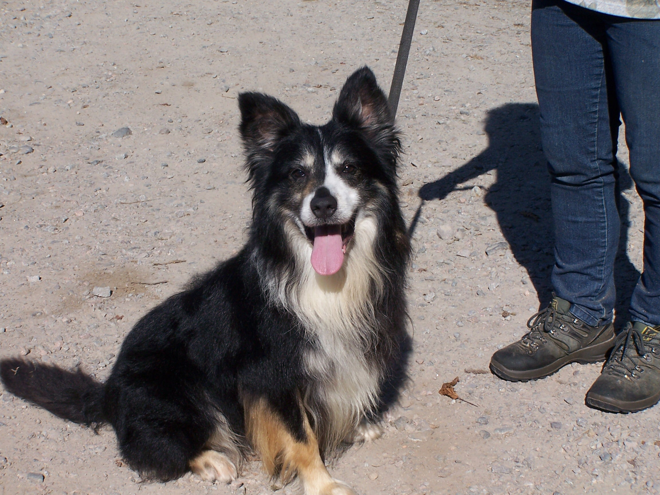Re-homed:laddie, 7/8 year old male Collie
