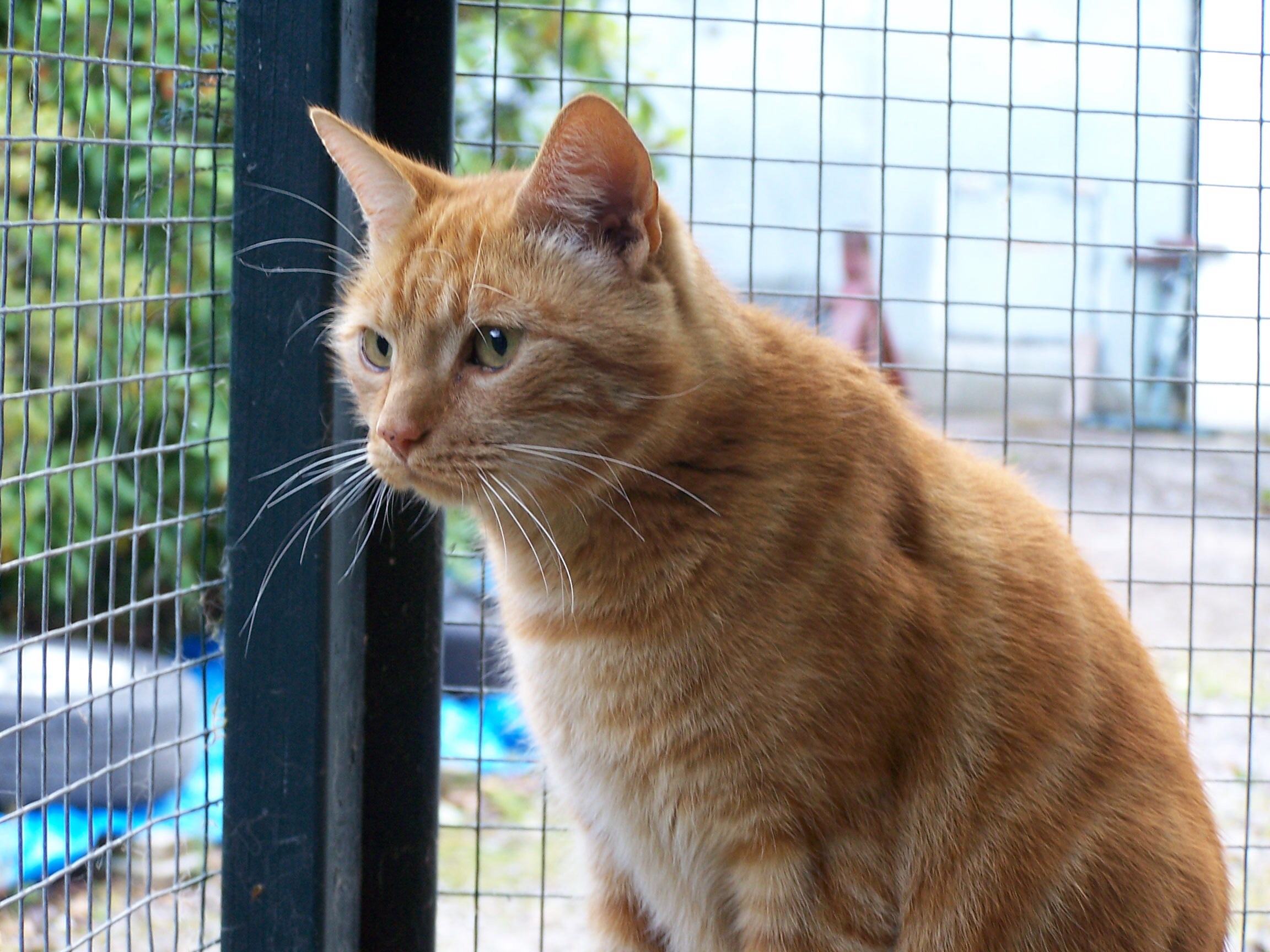 Rehomed: Rocky, 6 year old ginger cat – friendly boy and very handsome