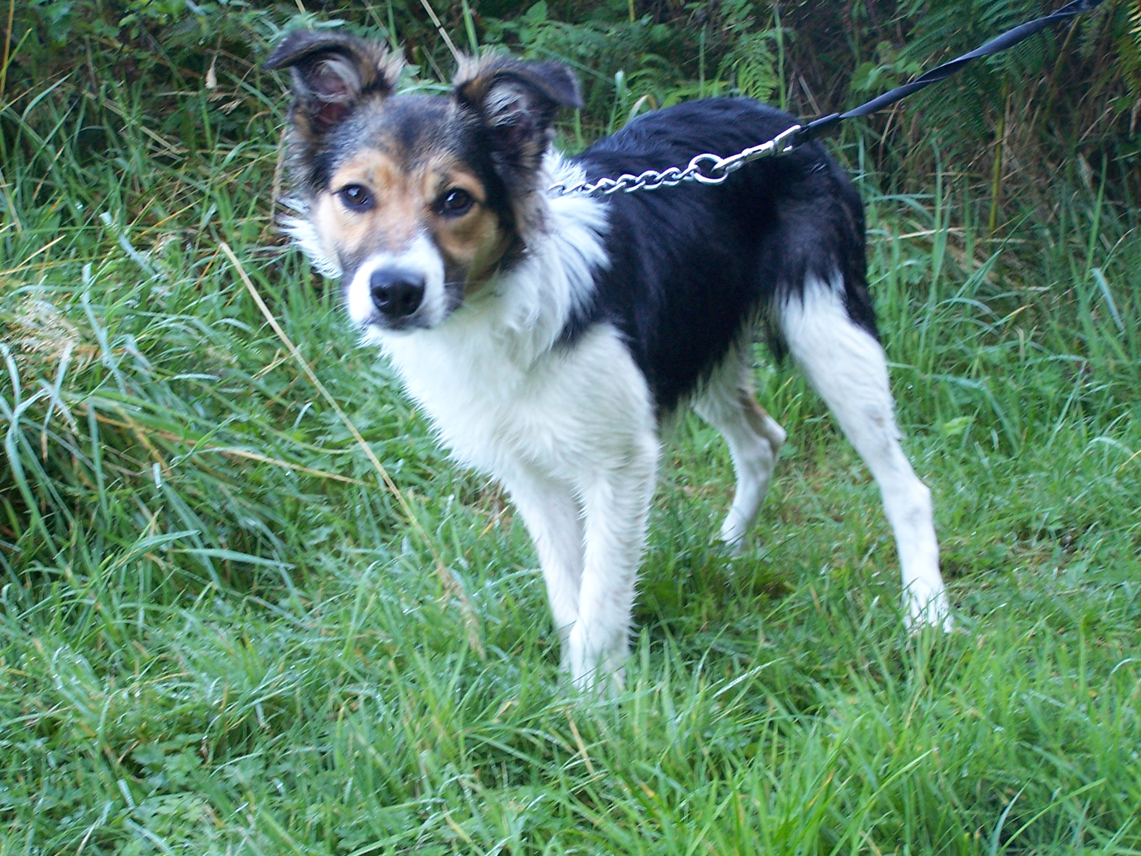 Re-homed: Rusty, 6 month old Male Collie
