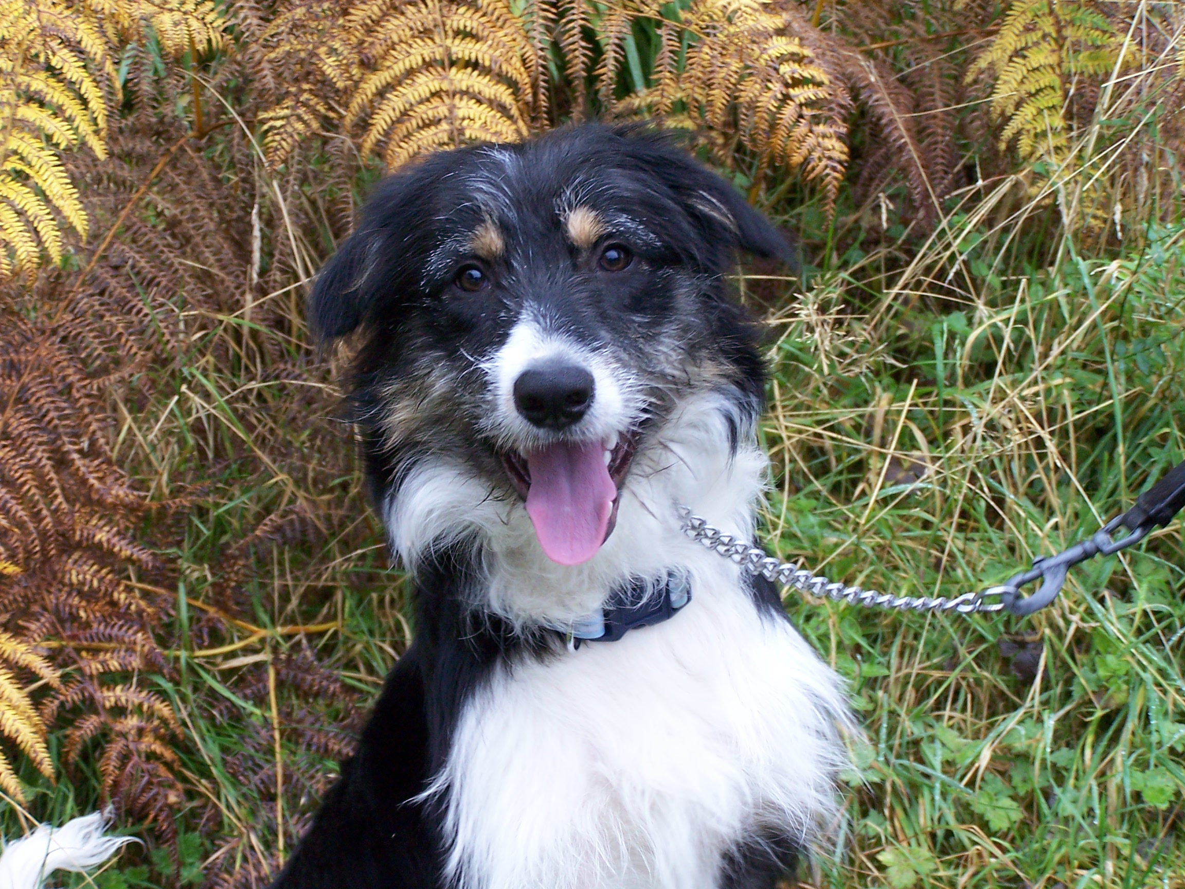 RE-HOMED Max, Neutered Collie, 7 Months old.