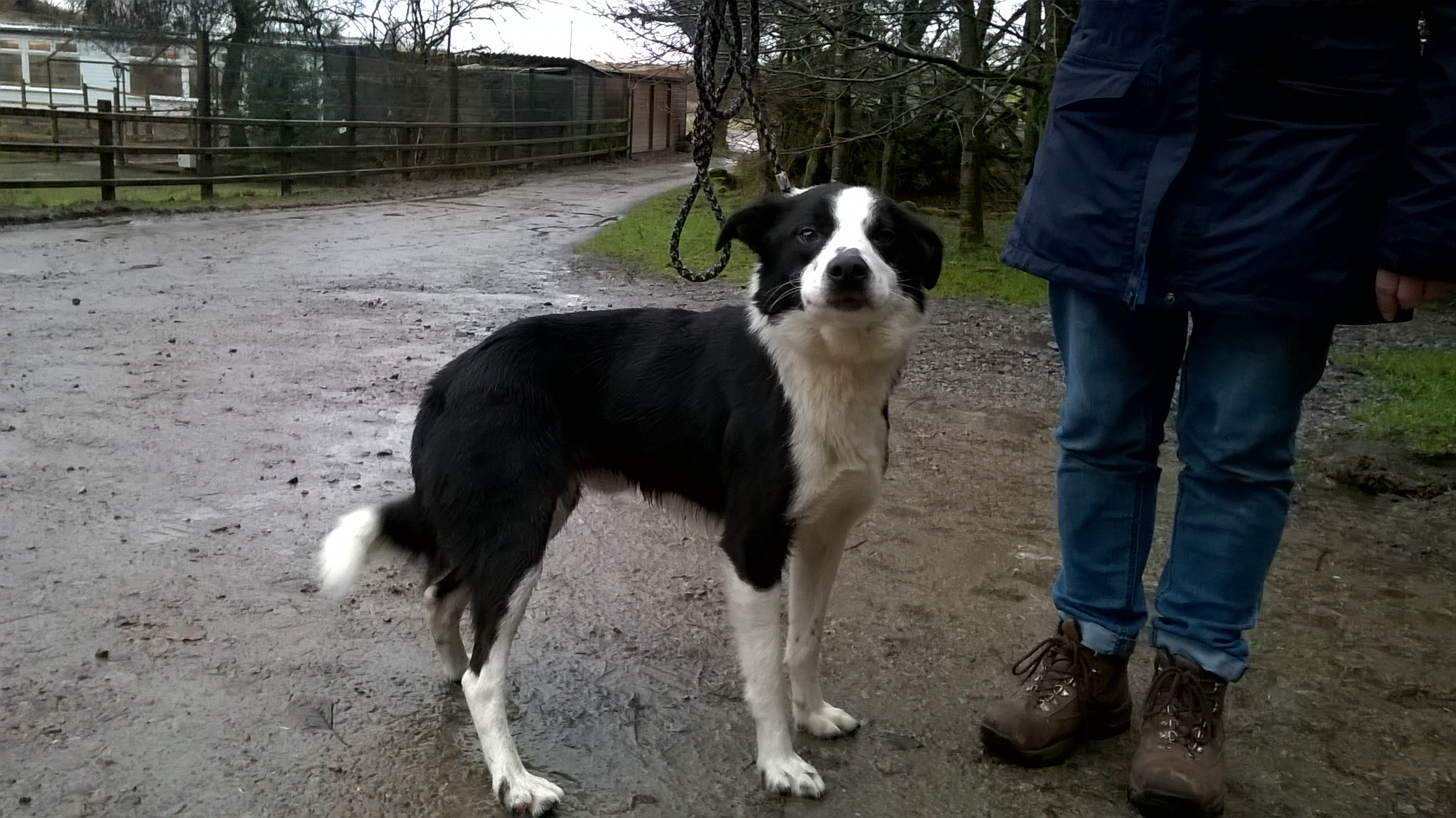 RE-HOMED Ben: 2 year old Collie
