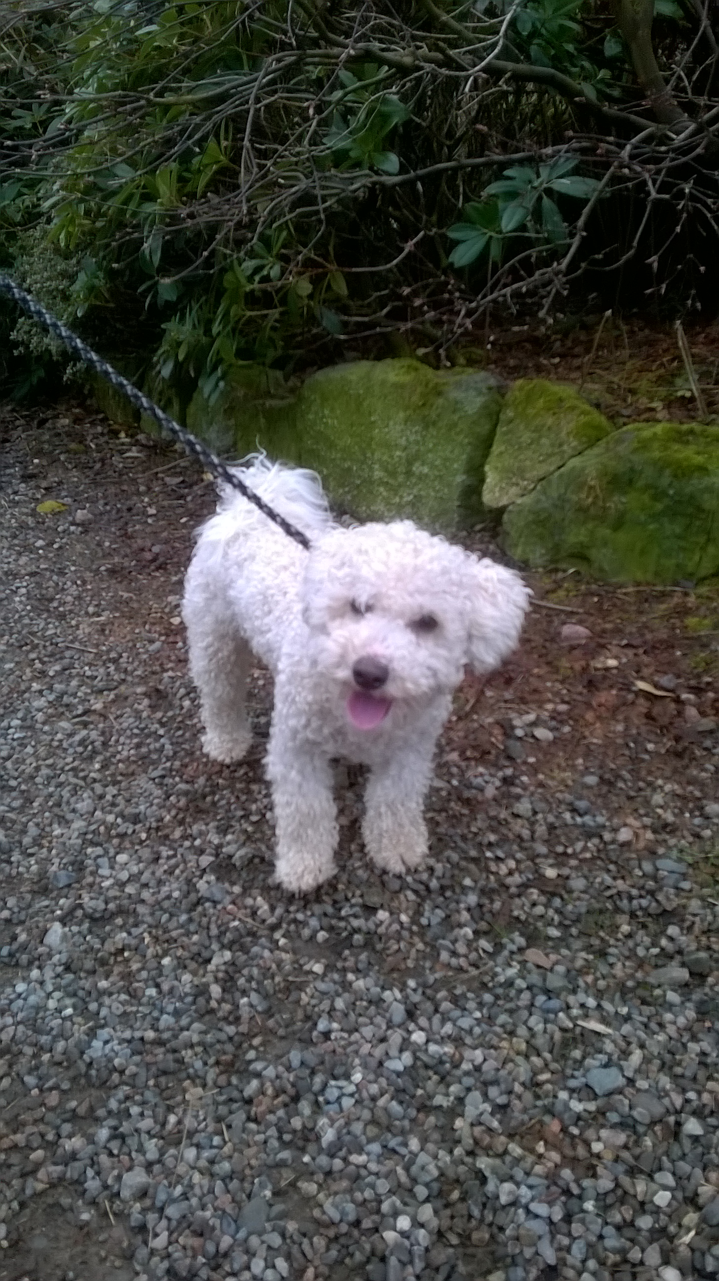 Rehomed: Caleb, Young male Bichon frise