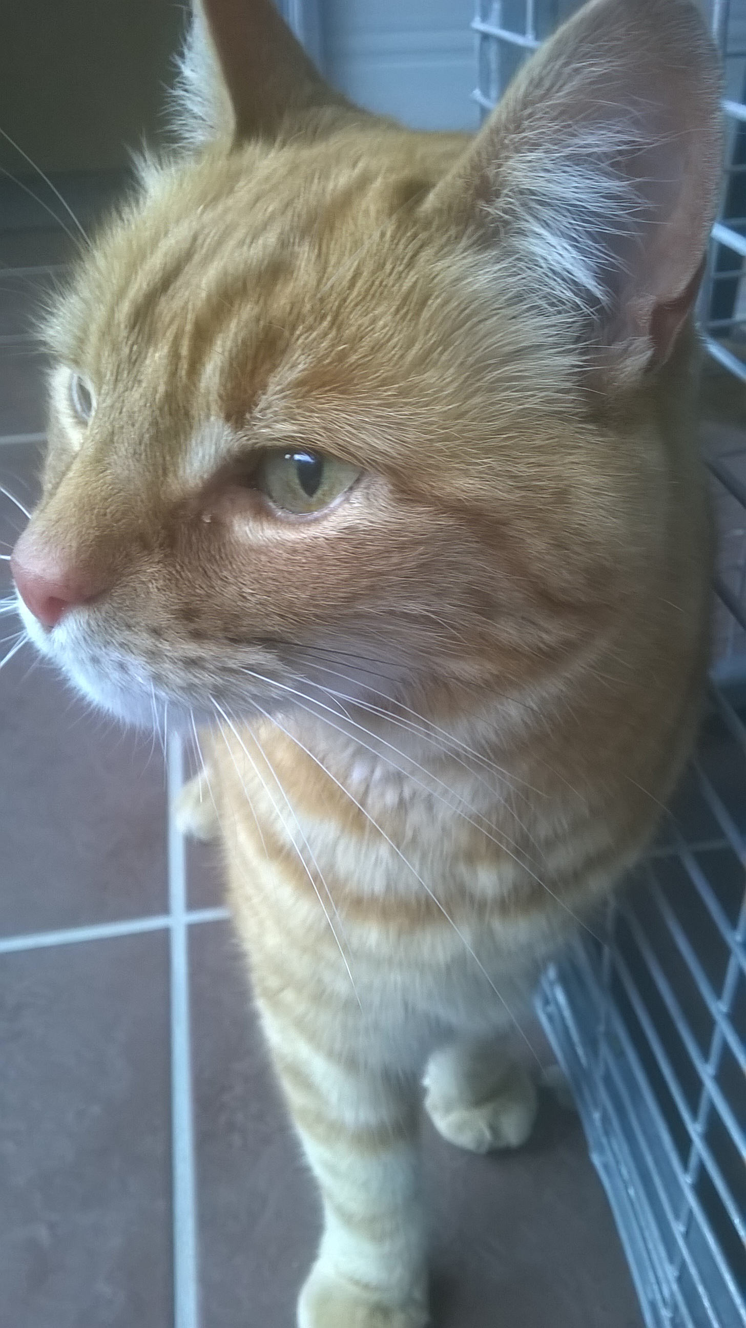 RE-HOMED Boo, ginger male