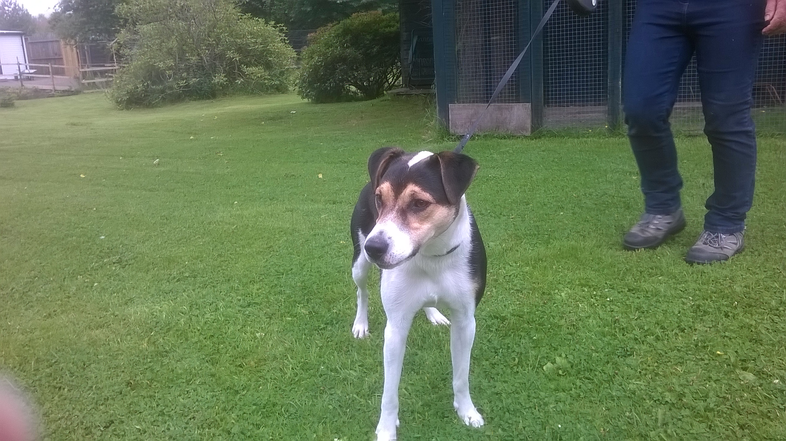 Re-homed: Ollie, 9 month old, Jack Russell-Collie cross.