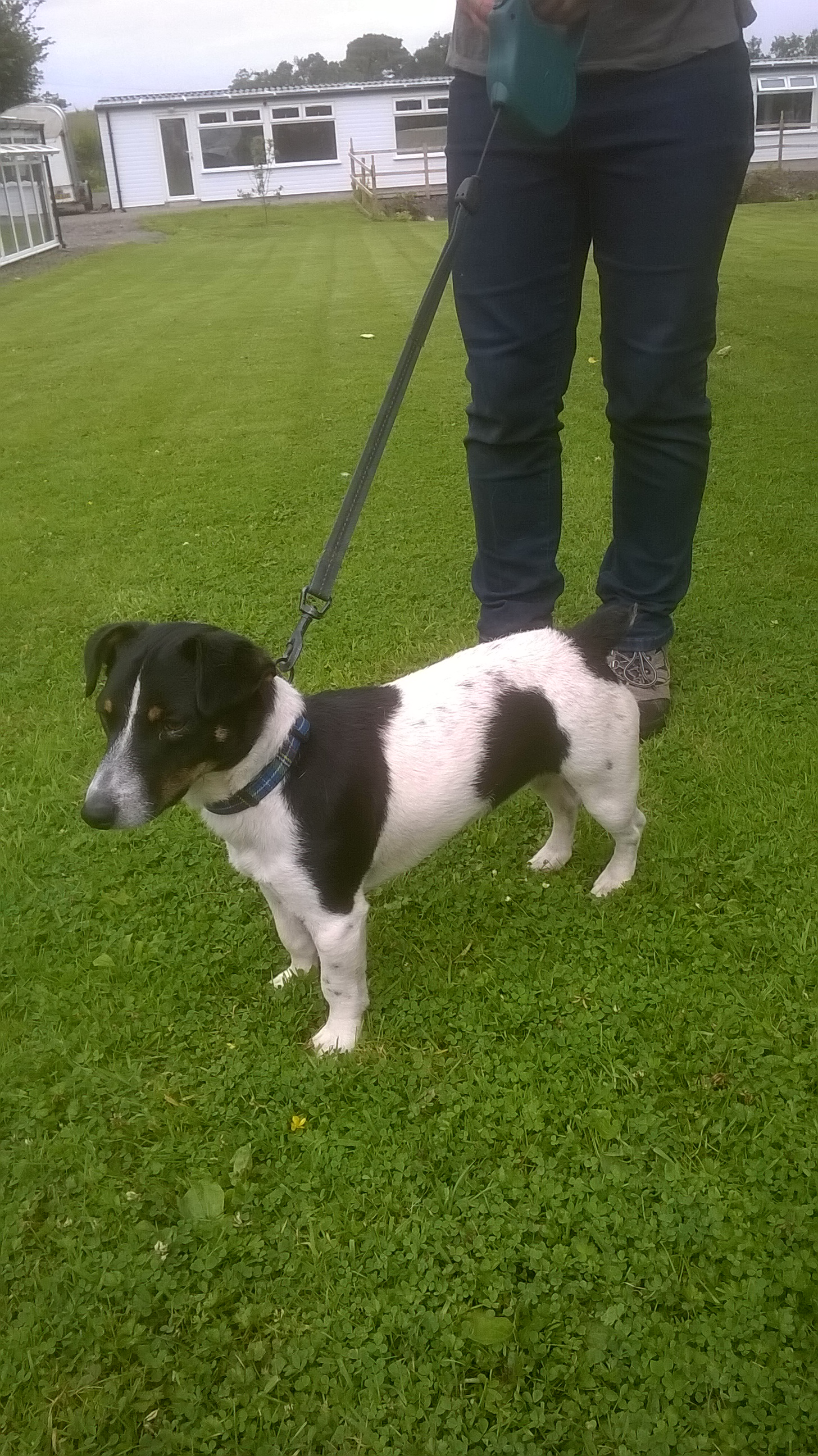 Re-homed: Jock, 11 month old Jack Russell