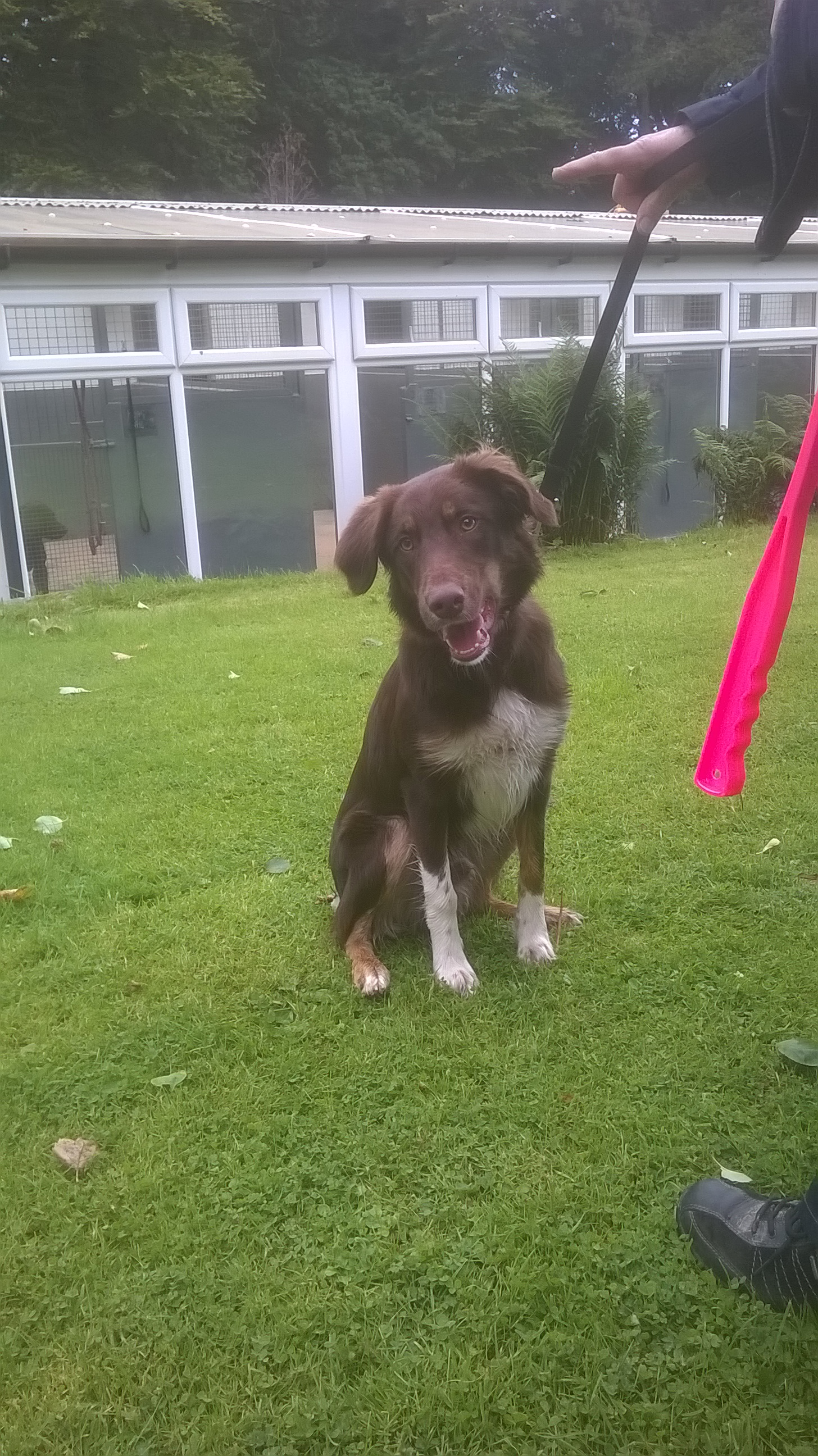 Re-homed: rusty 7 month old cross, male