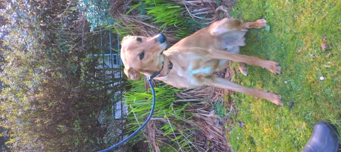 REHOMED: Dino male Lurcher