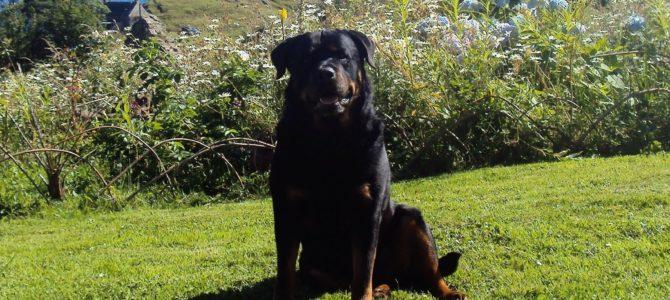 Diesel, 10 years old, Rottweiler