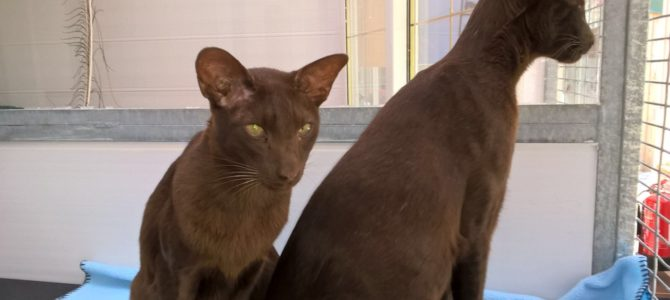 REHOMED: Liam and Noel, Siamese cats.