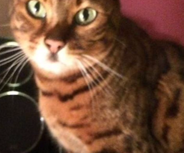 REHOMED: Amber, 3 Year Old Female Bengal