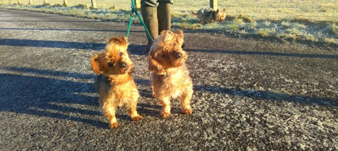 REHOMED: Yorkshire Terrier sisters, 10 years old.