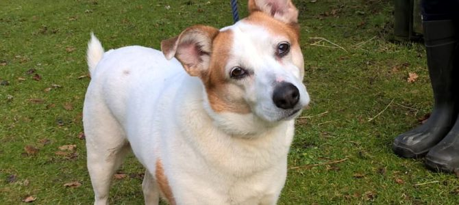 REHOMED: Molly, 9 years old, Jack Russell cross
