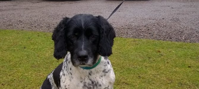 REHOMED: Tommy, 11 year old, Springer Spaniel