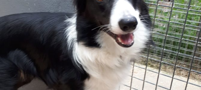 REHOMED: Gyp, 15 month old collie.