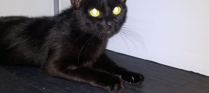 REHOMED: Bluebell 2 Year Old Female Cat