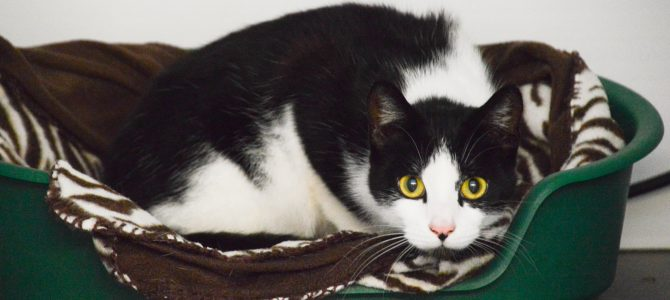 Rehomed:  Bubbles, 18 month old male cat