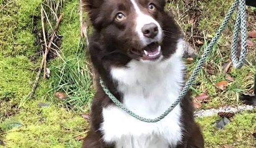 REHOMED: Shuna, 18 month old Collie