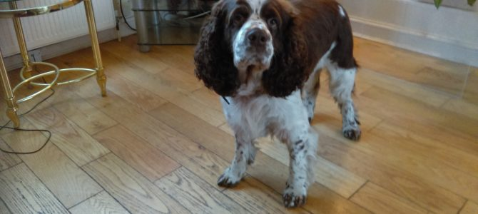 Sasha, 7 years old, Springer Spaniel