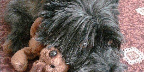 FOSTERED: Breagha, 11 year old Cairn Terrier