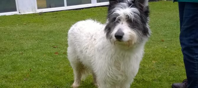 REHOMED: Buddy, 9 year old Beardie Cross.