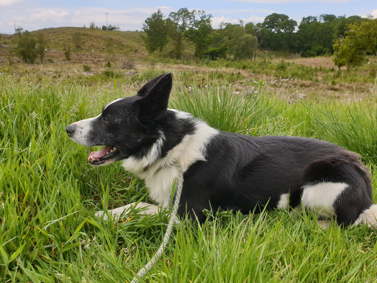 5 Year Male Labrador Cross Collie And German: Rehomed: Jock, Male Collie