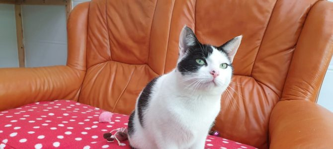 Rehomed: Diamond, spayed female cat