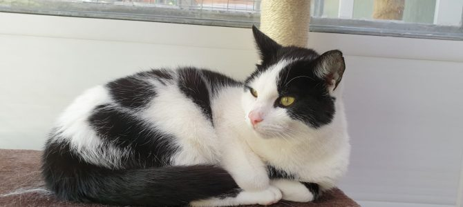 Rehomed: Buttons, neutered male cat