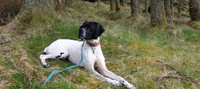 REHOMED: Boris, neutered male English Pointer
