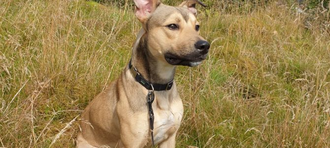 REHOMED: Toby, one year old neutered Male Lurcher